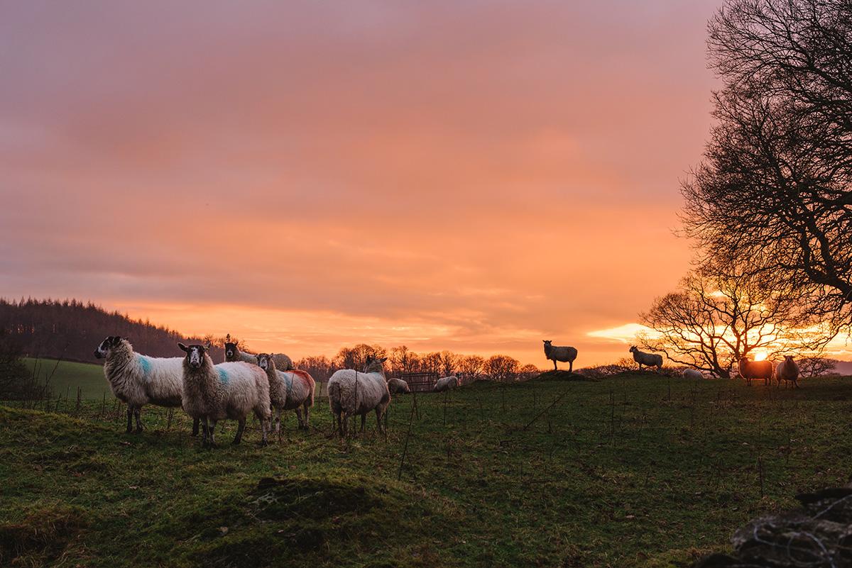 Farmland at sunset near Sizergh castle