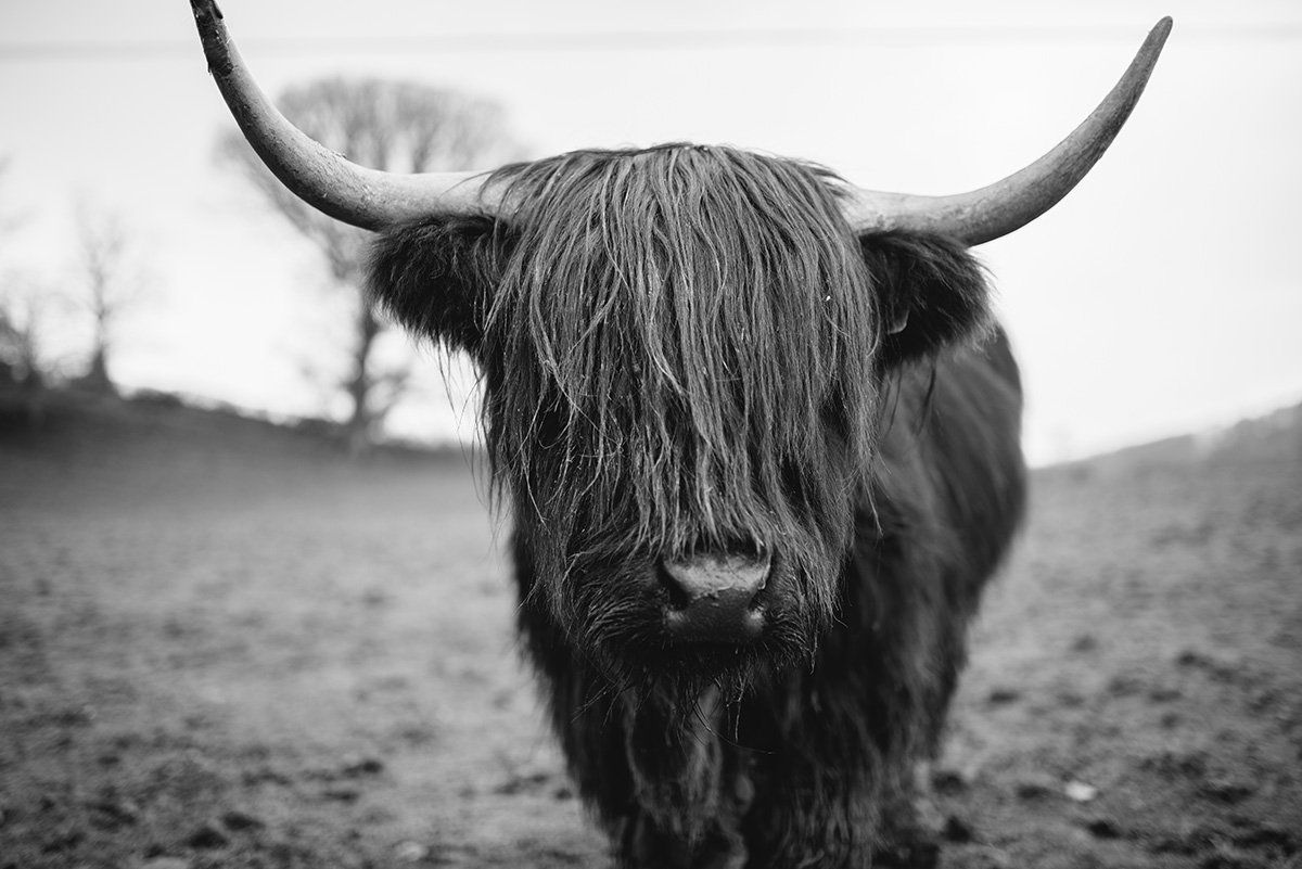 long haired cattle